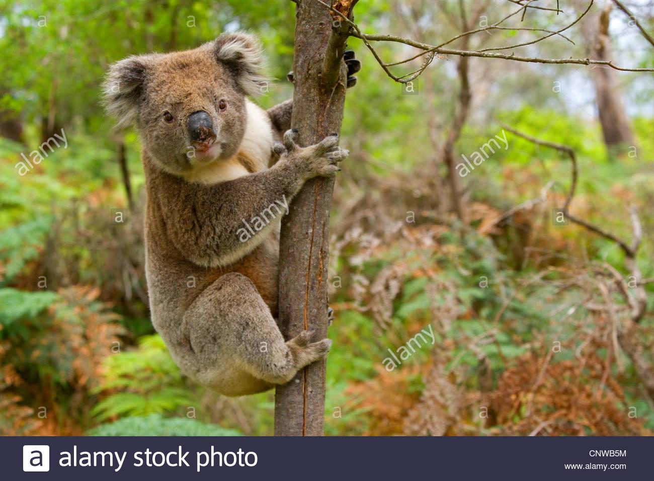 koala koala bear Phascolarctos cinereus strong male Koala