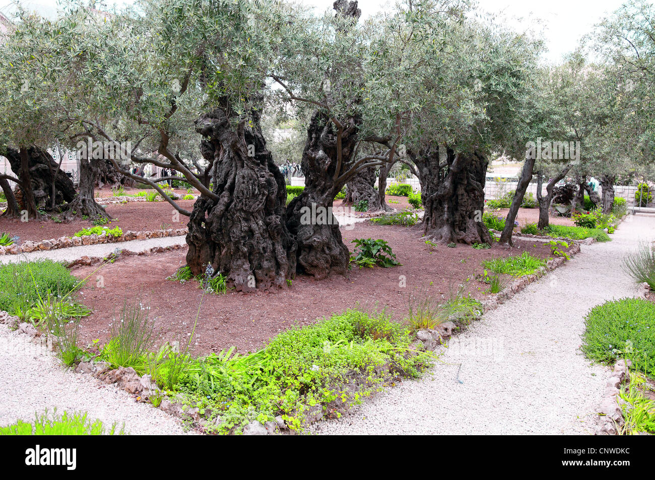 The ancient olive tree in gethsemane garden in jerusalem for Age olive trees garden gethsemane