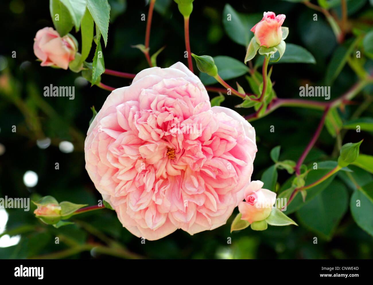 ornamental rose rosa 39 paul noel 39 rosa paul noel. Black Bedroom Furniture Sets. Home Design Ideas