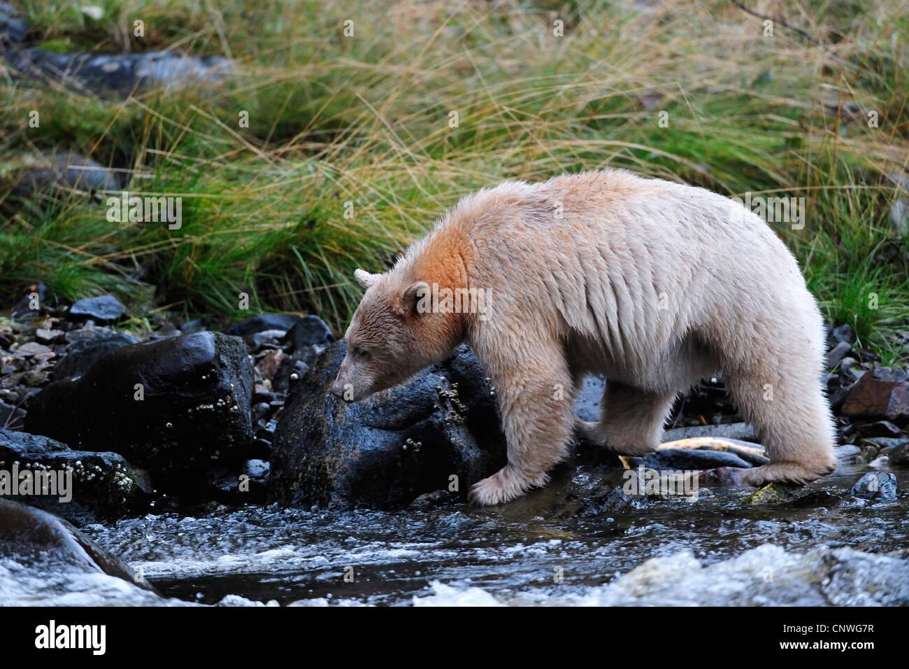 Baby kermode bear