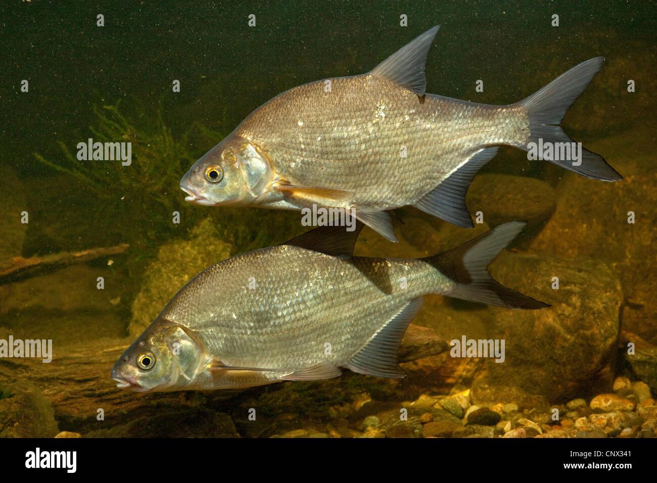 Freshwater fish bream -  Common Bream Freshwater Bream Carp Bream Abramis Brama Two Fishes Swimming