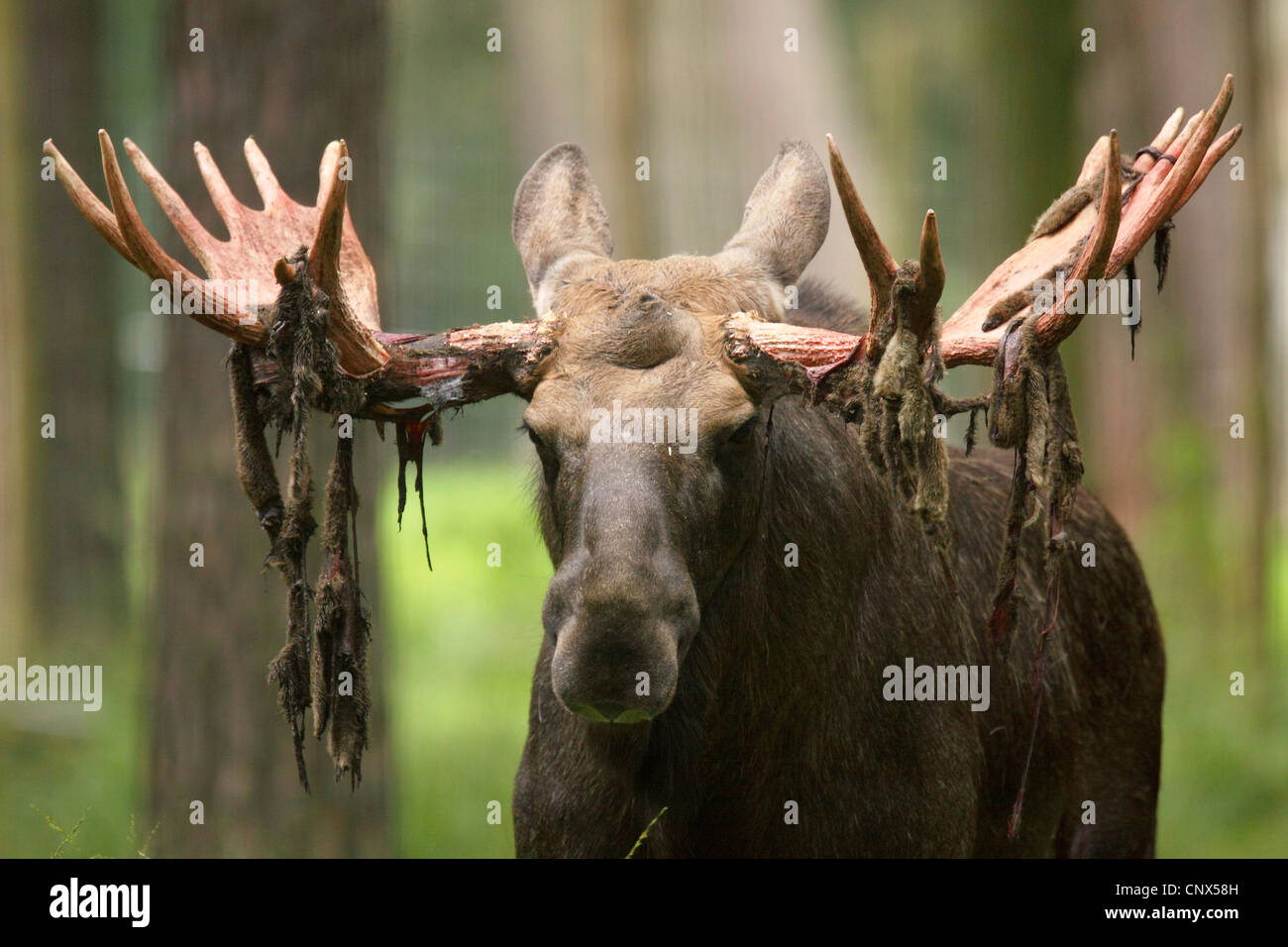 moose bull stock photos u0026 moose bull stock images alamy