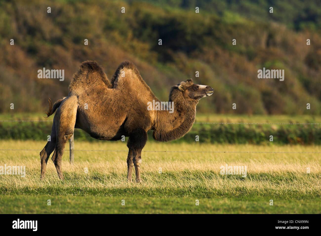 Bactrian Camel Two Humped Camelus Bactrianus Standing In A Meadow Netherlands De Petten