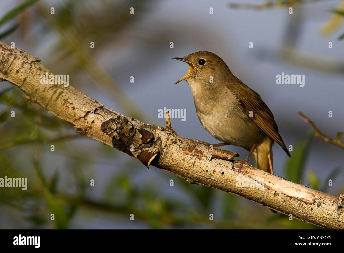 nightingale_Luscinia_megarhynchos_sittin