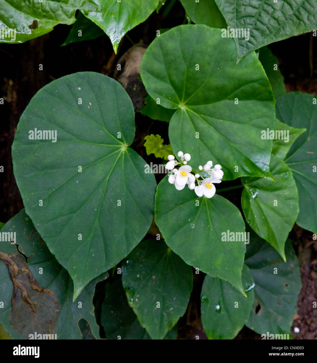 Begonia with white flower growing in dense humid shade in the rain Stock Phot