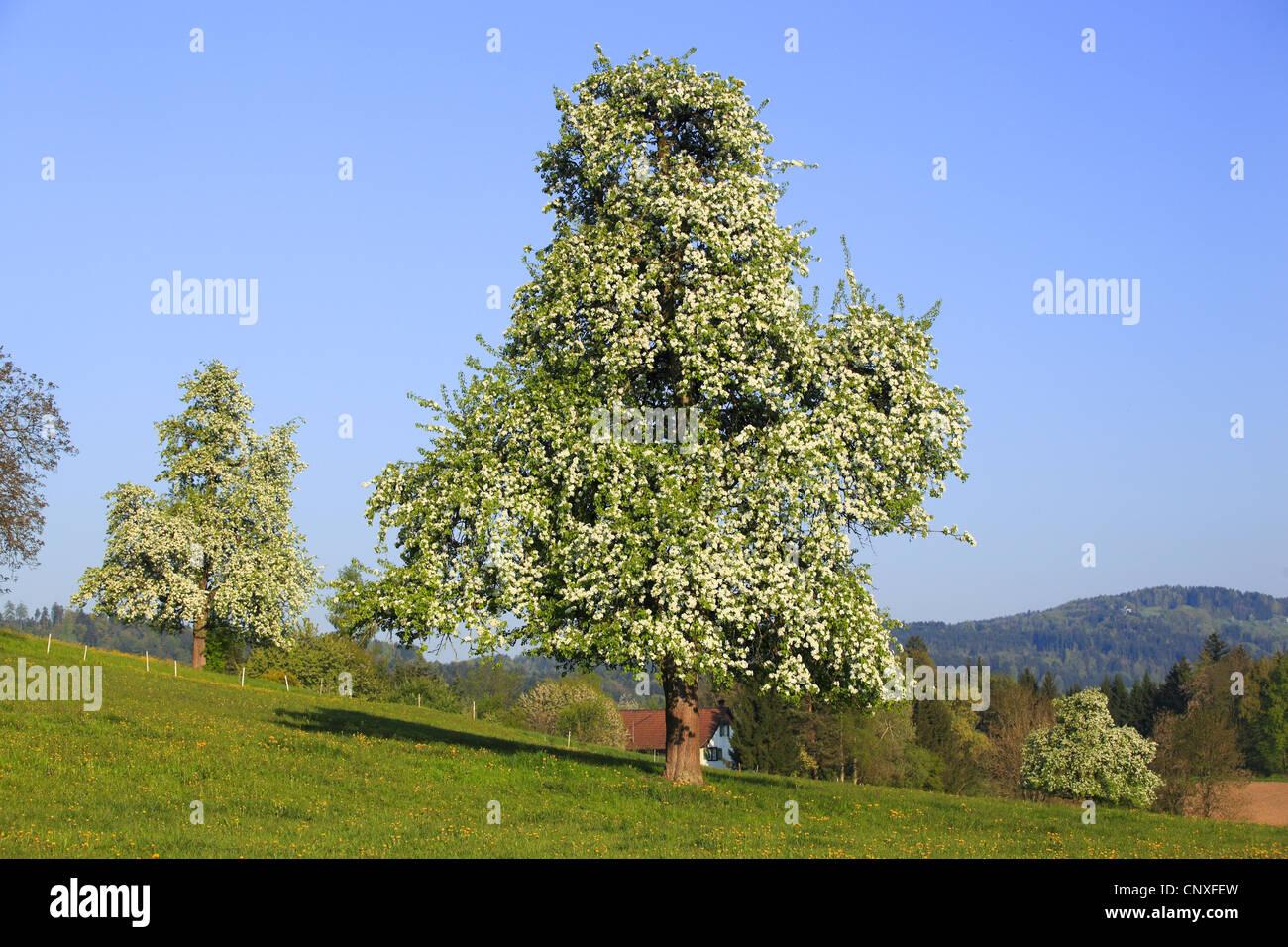 Tree Pyrus Communis Related Keywords - Tree Pyrus Communis ...