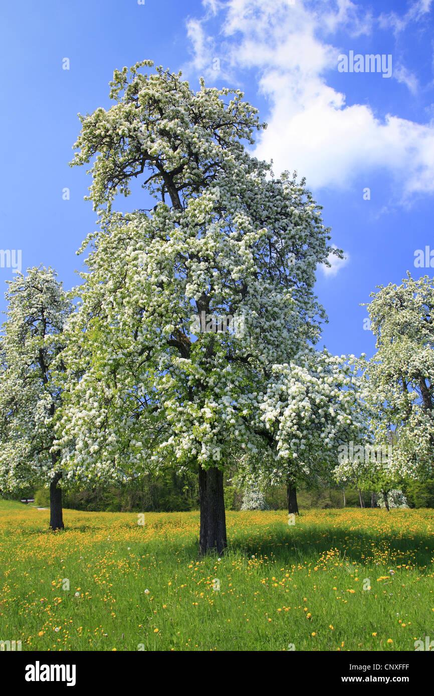 common pear, pear tree (Pyrus communis, Pyrus domestica ...