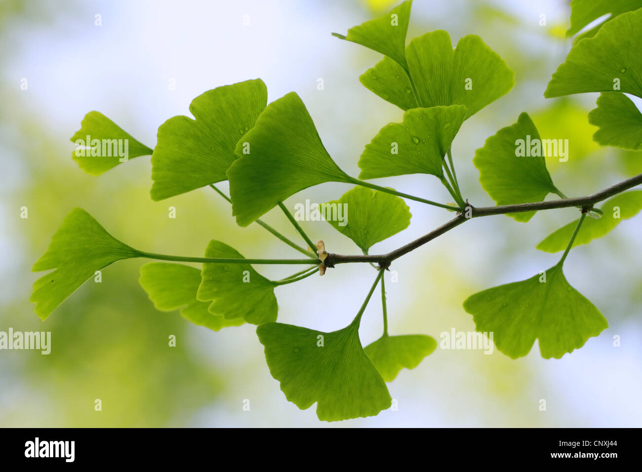 Ginko Free Vector Art - (8418 Free Downloads)