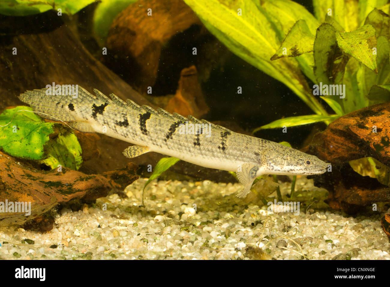 green senegal fish bichir