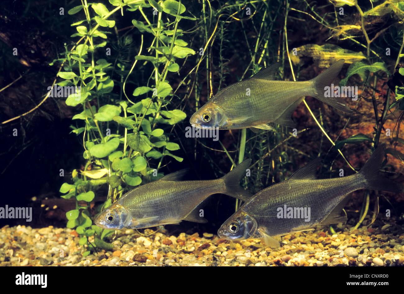 Freshwater juvenile fish - Stock Photo Common Bream Freshwater Bream Carp Bream Abramis Brama Juvenile Fishes