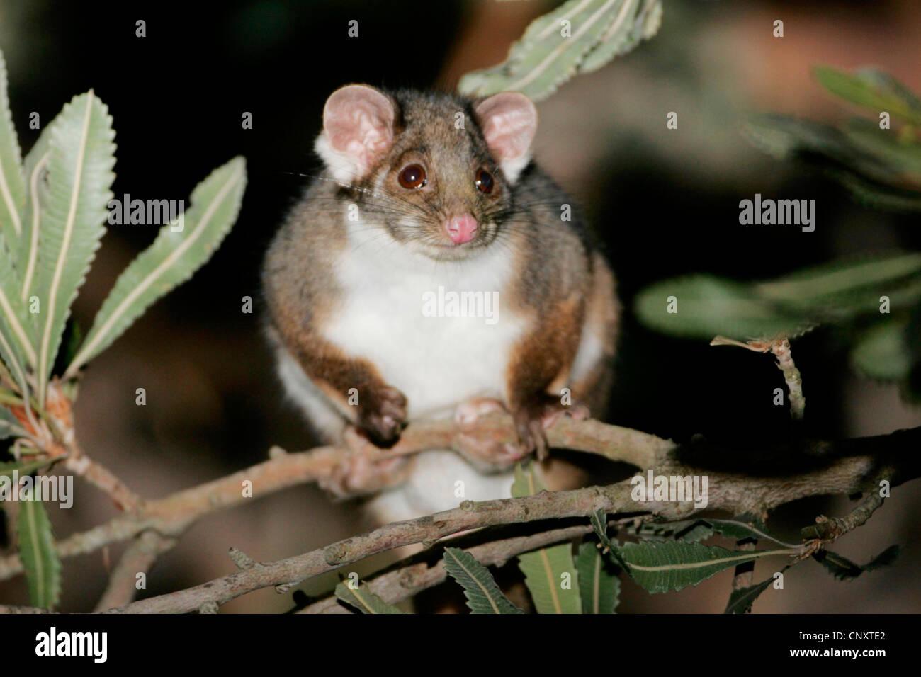 lemuroid-ringtail-possum-brush-tipped-ri