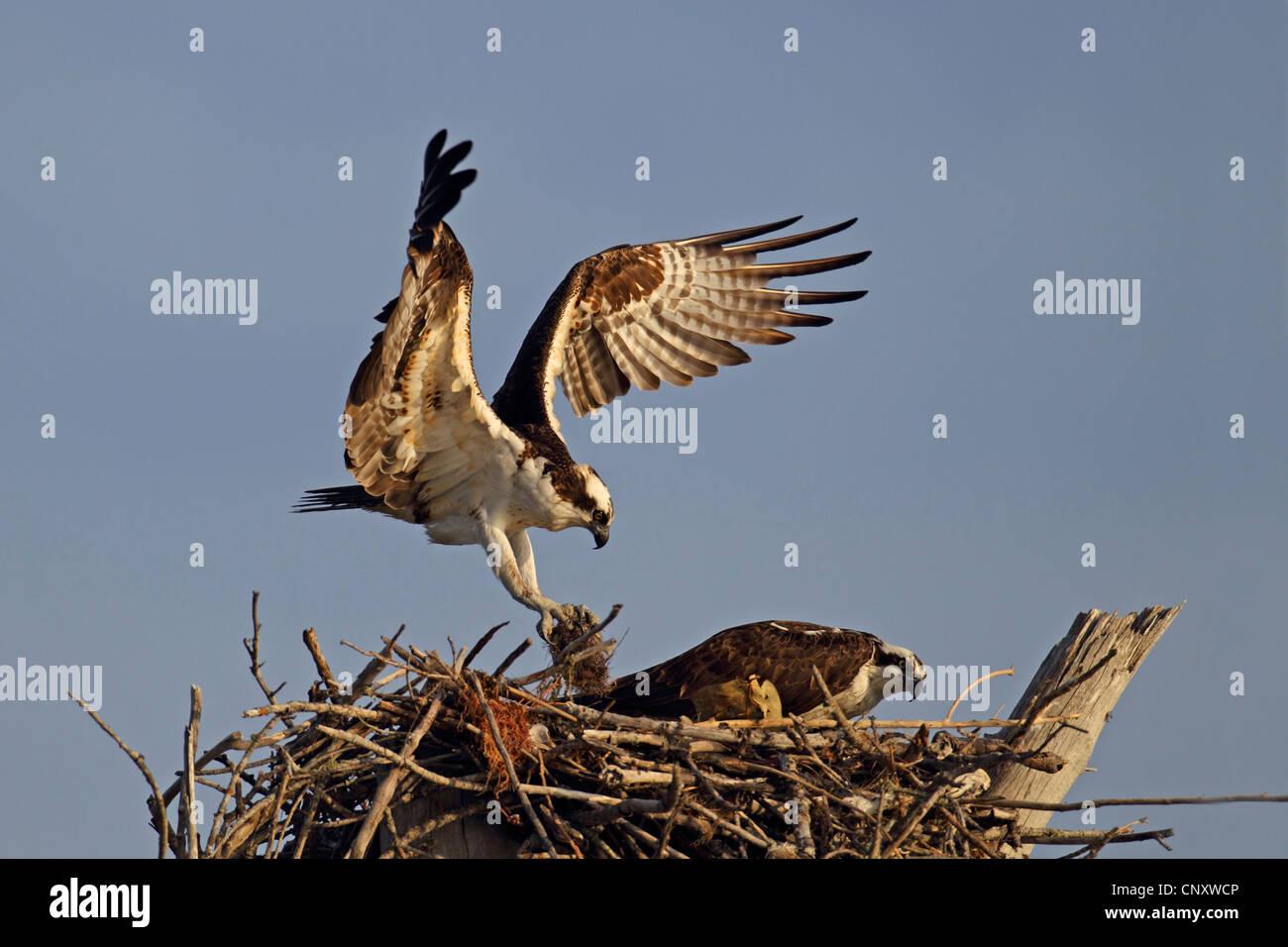 Osprey fish hawk pandion haliaetus couple building a for Fish hawk fl