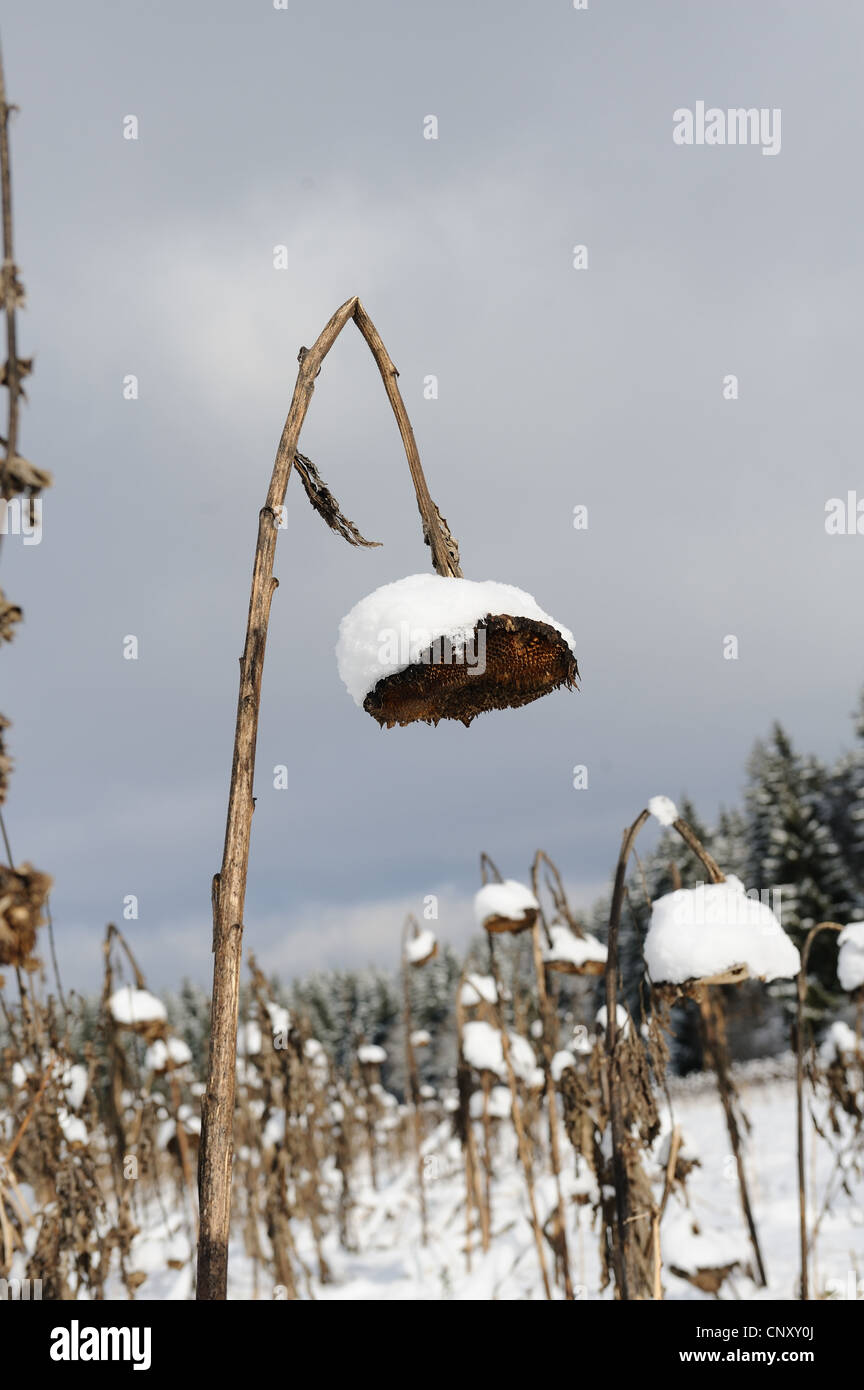 Common Sunflower Helianthus Annuus Winter Field With Snow Covered Dead Flowers Germany Bavaria Upper Palatinate
