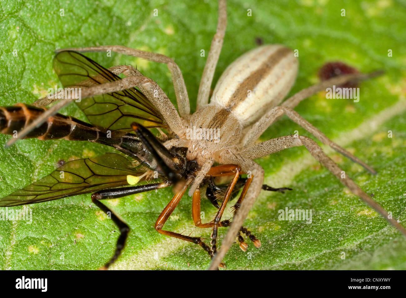 Crab spider preying bumble bee garden spiders spiders flower spiders - Running Crab Spider Philodromid Philodromid Spider Tibellus Oblongus With Prey