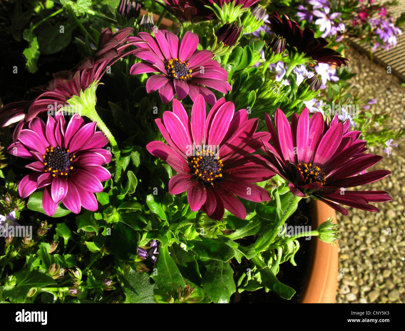 african daisy lavender african daisy norlindh freeway daisy stock photo royalty free image. Black Bedroom Furniture Sets. Home Design Ideas