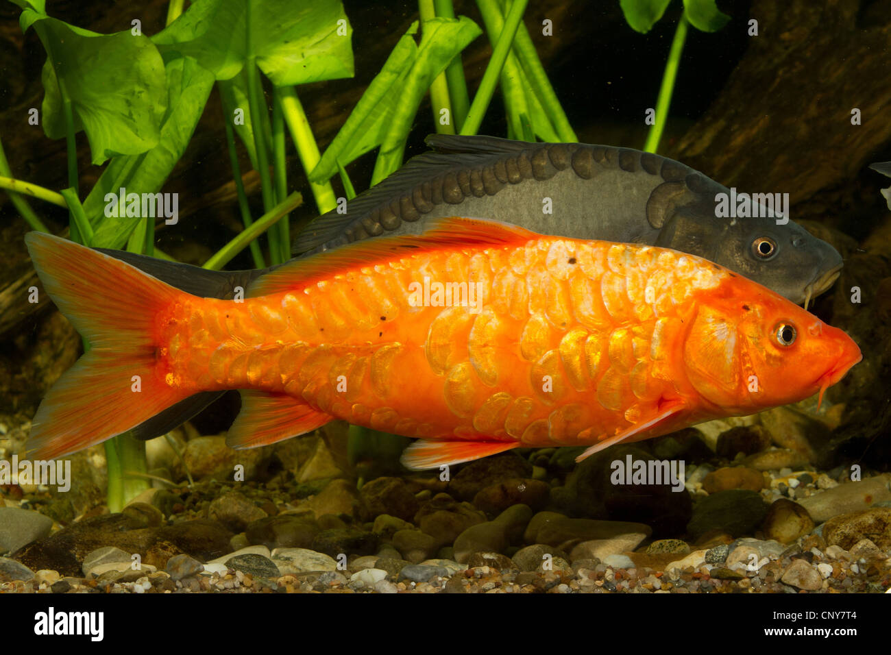 koi carp cyprinus carpio orange koi and mirror carp