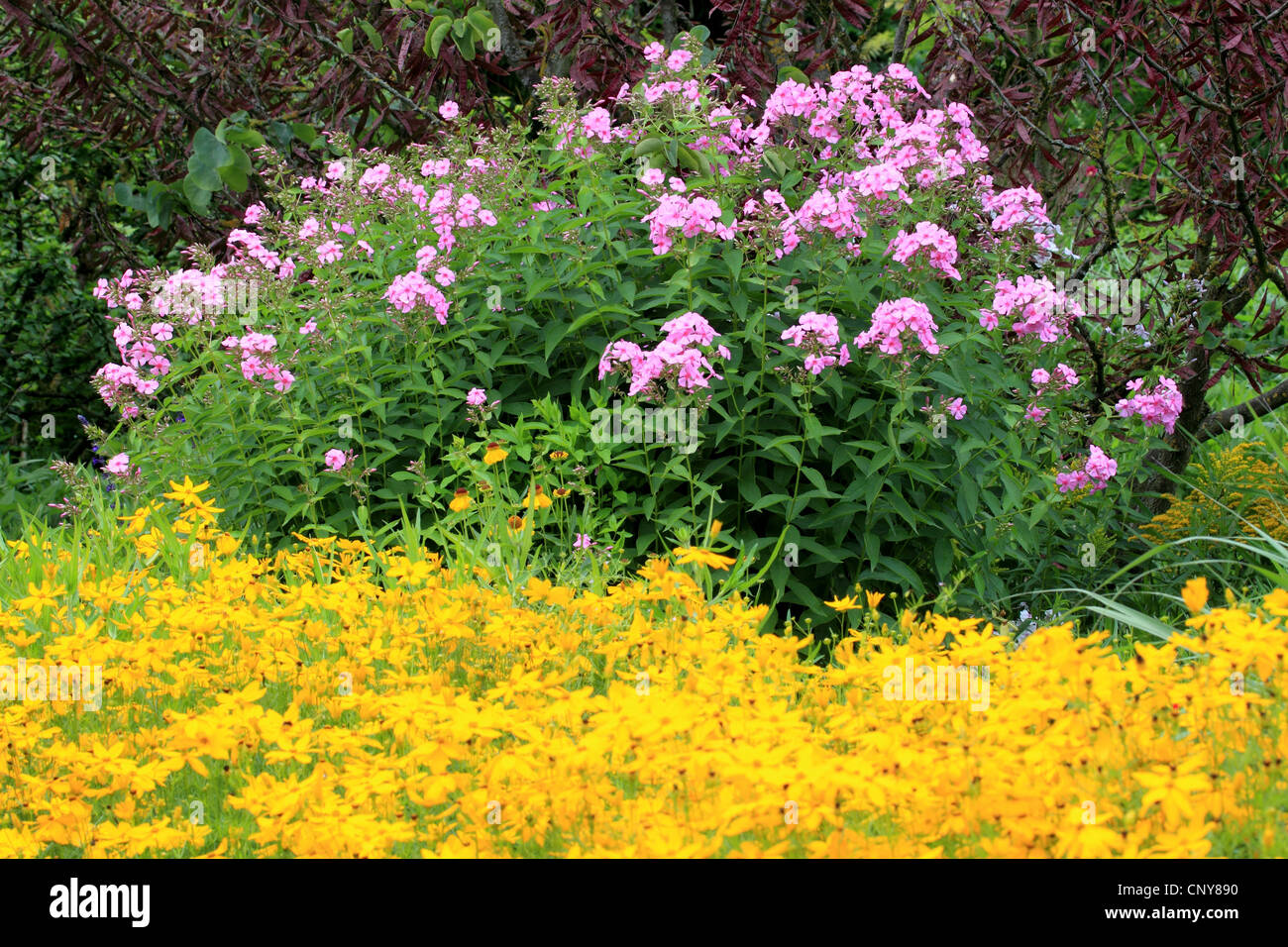 Garden Phlox phlox Paniculata In Full Bloom Stock Photo Royalty