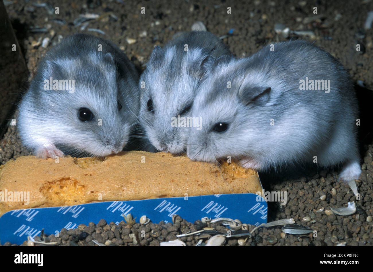 Siberian mouse CP studio: http://img.jpg4.net/Siberian+mouse+CP+studio+/pic3.html