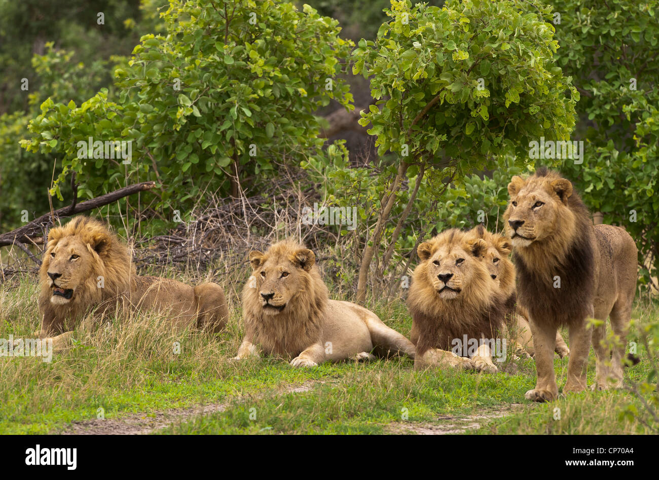 Lions In A Group 91
