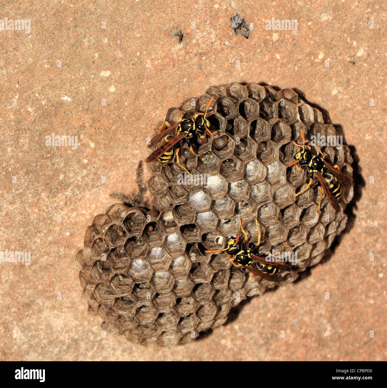 european paper wasps polistes dominula females on their nests stock photo royalty free image. Black Bedroom Furniture Sets. Home Design Ideas