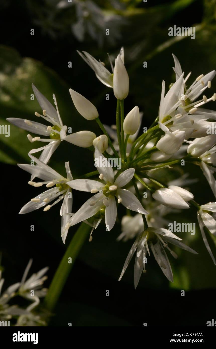wild garlic ramsons allium ursinum close detail of. Black Bedroom Furniture Sets. Home Design Ideas