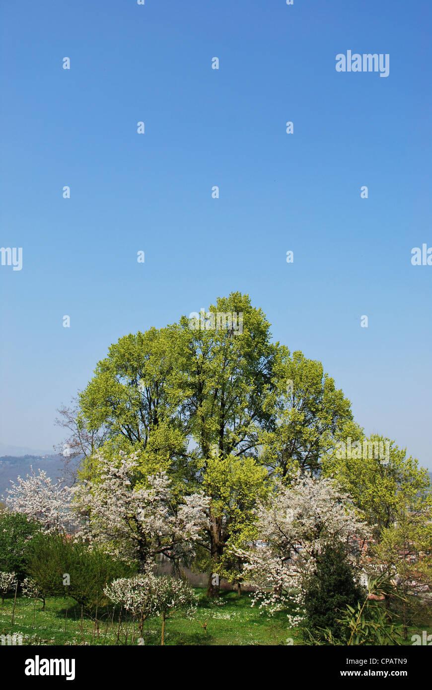 Flowering trees in spring bergamo lombardy italy stock photo flowering trees in spring bergamo lombardy italy izmirmasajfo