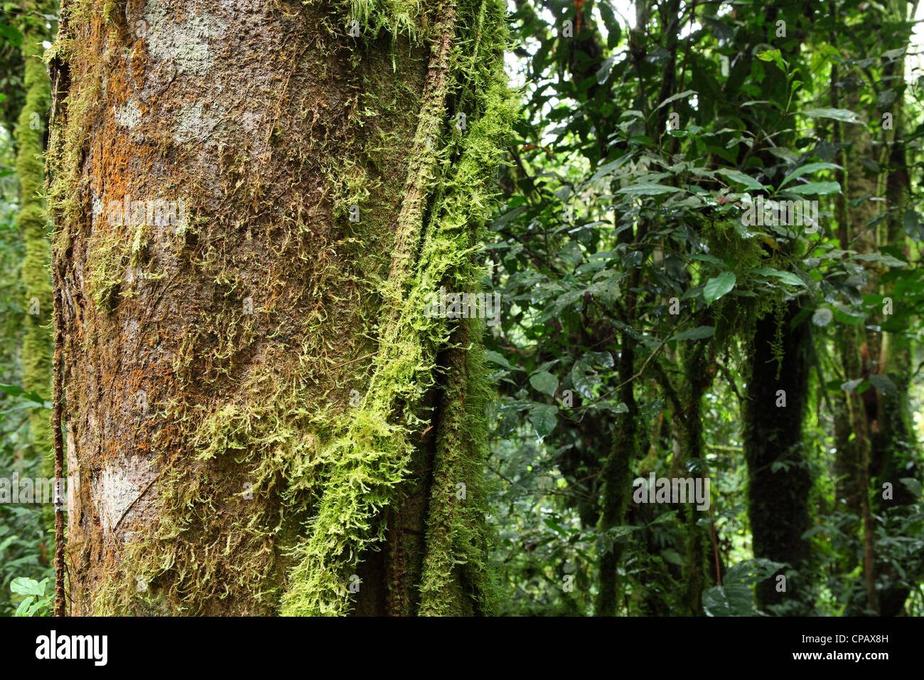 Vines creepers and moss thrive under the dense canopy of the tropical rainforest in Nyungwe National Park Rwanda & Vines creepers and moss thrive under the dense canopy of the ...