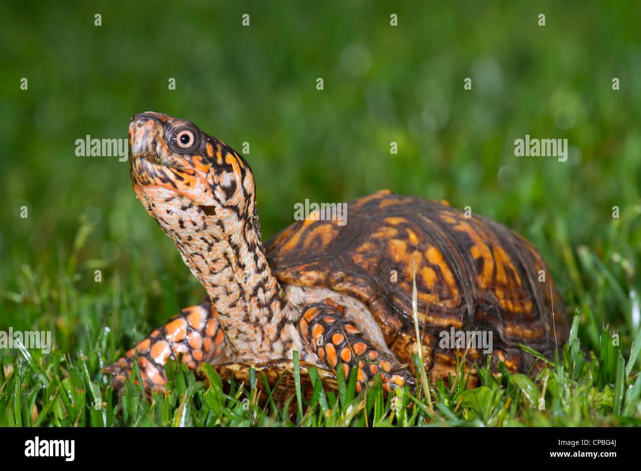 eastern long neck turtle stock photos u0026 eastern long neck turtle