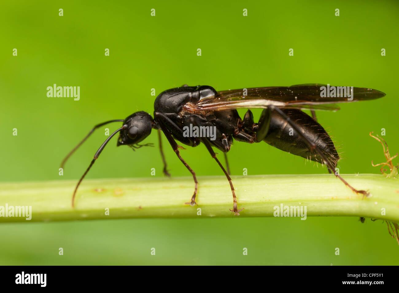 A queen Black Carpenter Ant (Camponotus pennsylvanicus ...