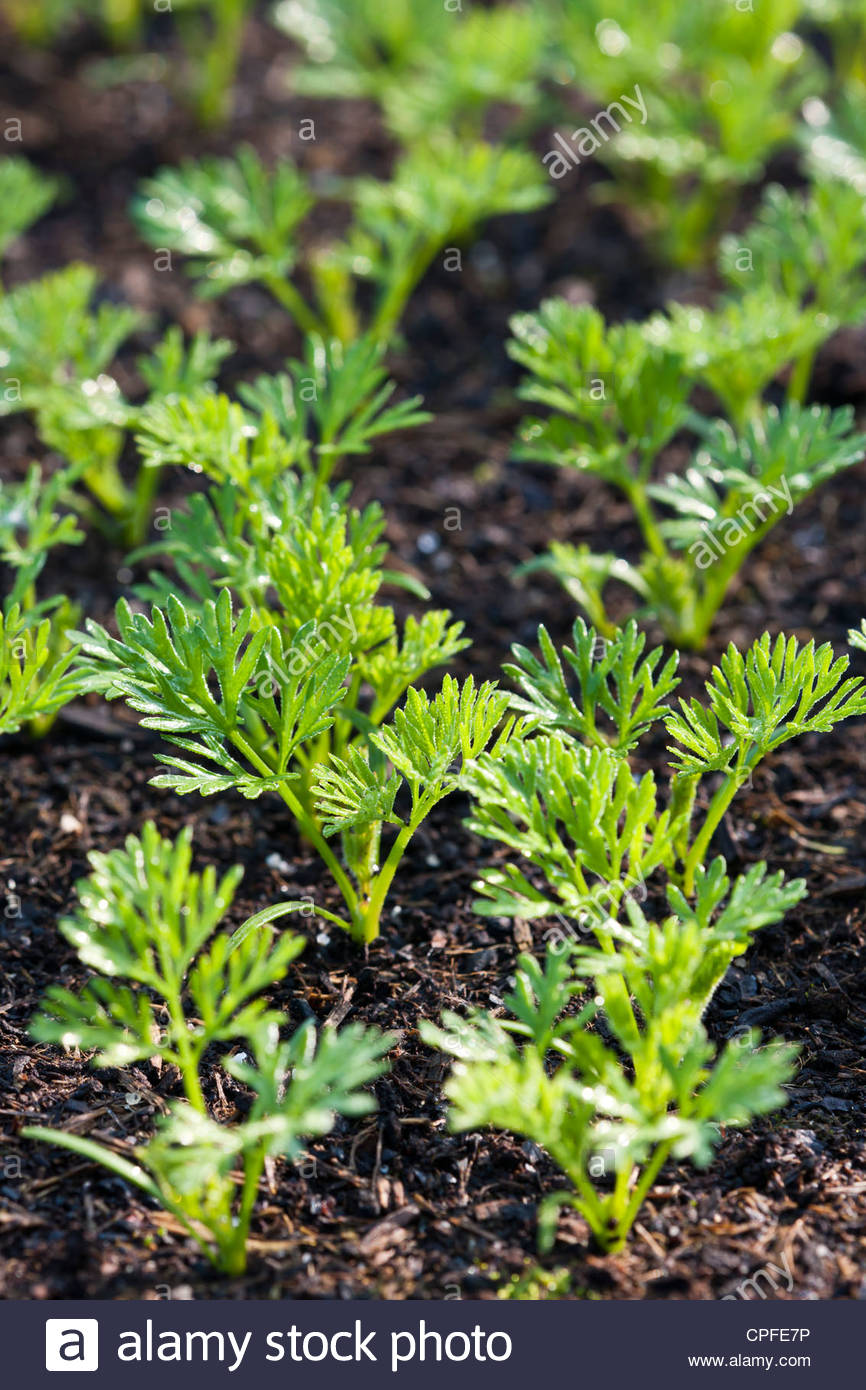 Organic Kitchen Garden Carrot Seedlings Spaced Newly Sprouted Summer May Green Organic
