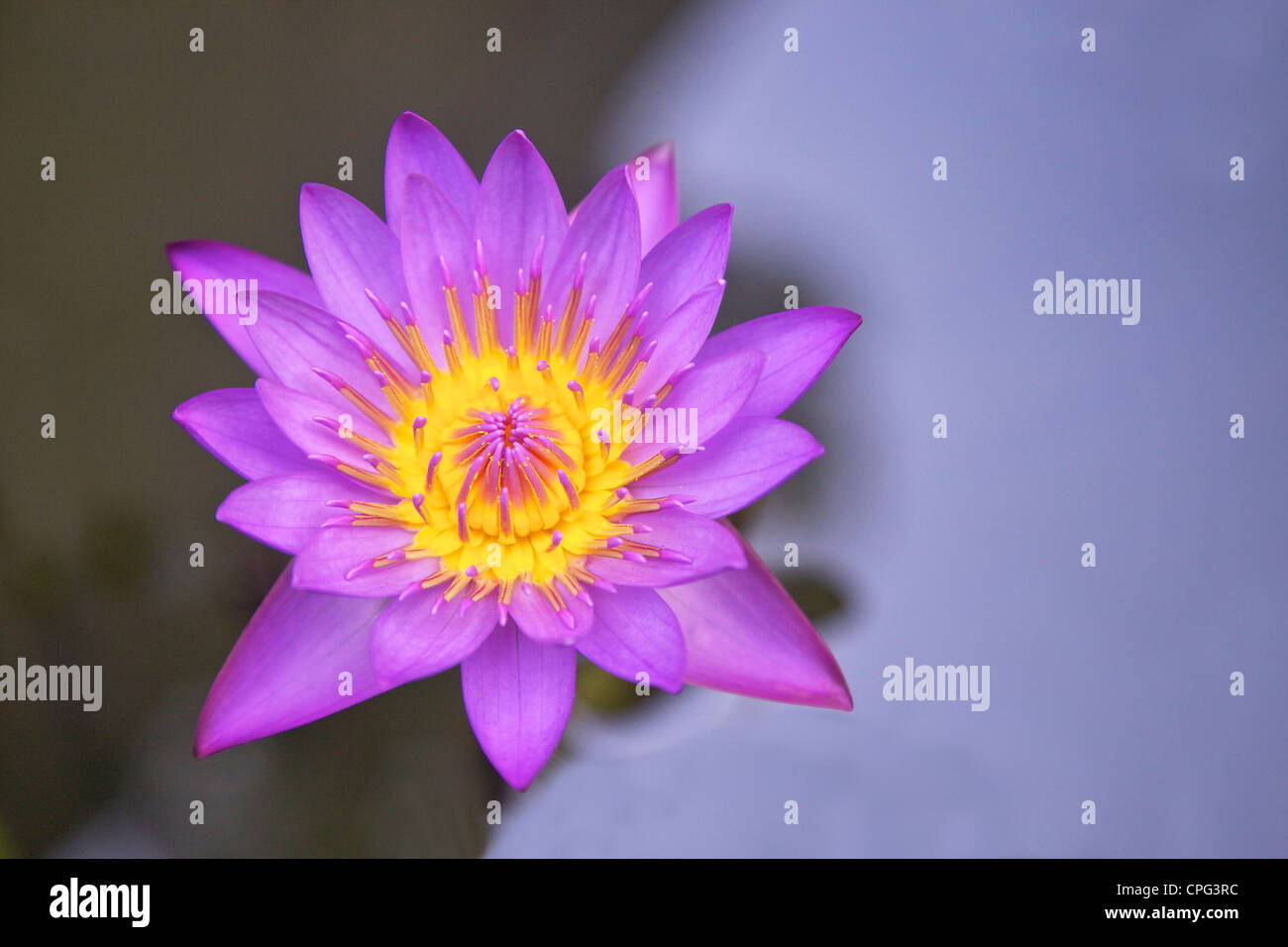 Blue star water lily or blue lotus flower nymphaea stellata blue star water lily or blue lotus flower nymphaea stellata national flower of sri lanka asia dhlflorist Images