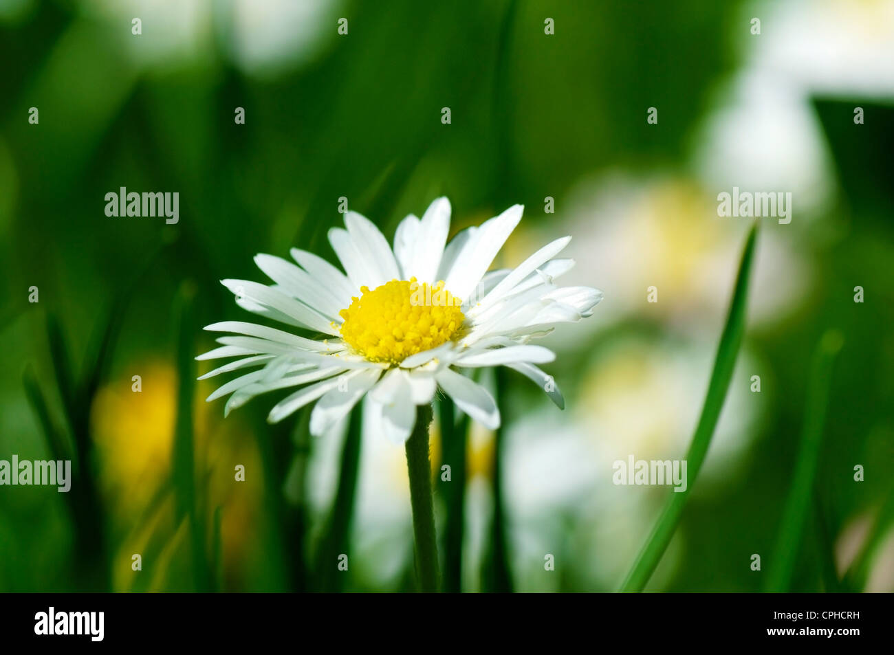 Closeup of a beautiful daisy flower bellis perennis stock photo closeup of a beautiful daisy flower bellis perennis izmirmasajfo Choice Image
