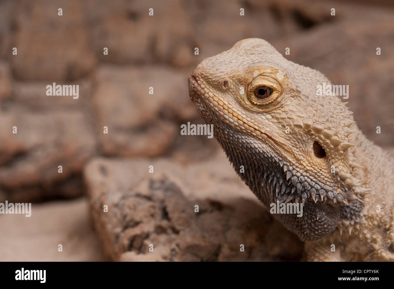K Dragon Lizard dragon lizard showing face