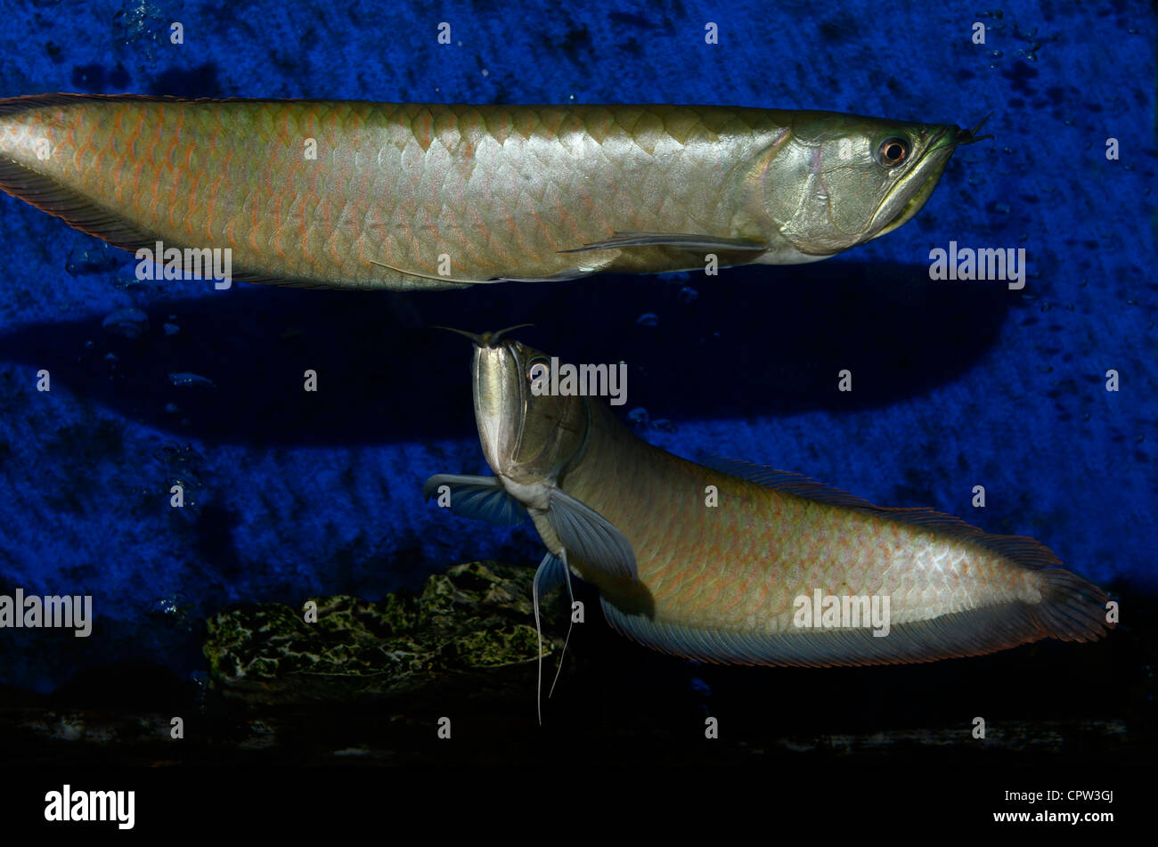 Freshwater fish amazon - Two Silver Arowana Freshwater Bonytongue Fish From The Amazon River Swimming In An Aquarium Stock