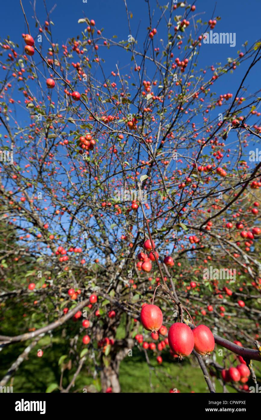 red sentinel malus x robusta crab apple tree apple. Black Bedroom Furniture Sets. Home Design Ideas