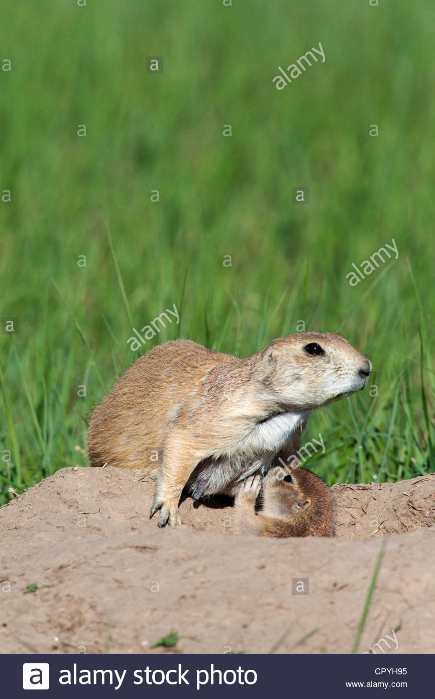 Prairie dog burrows