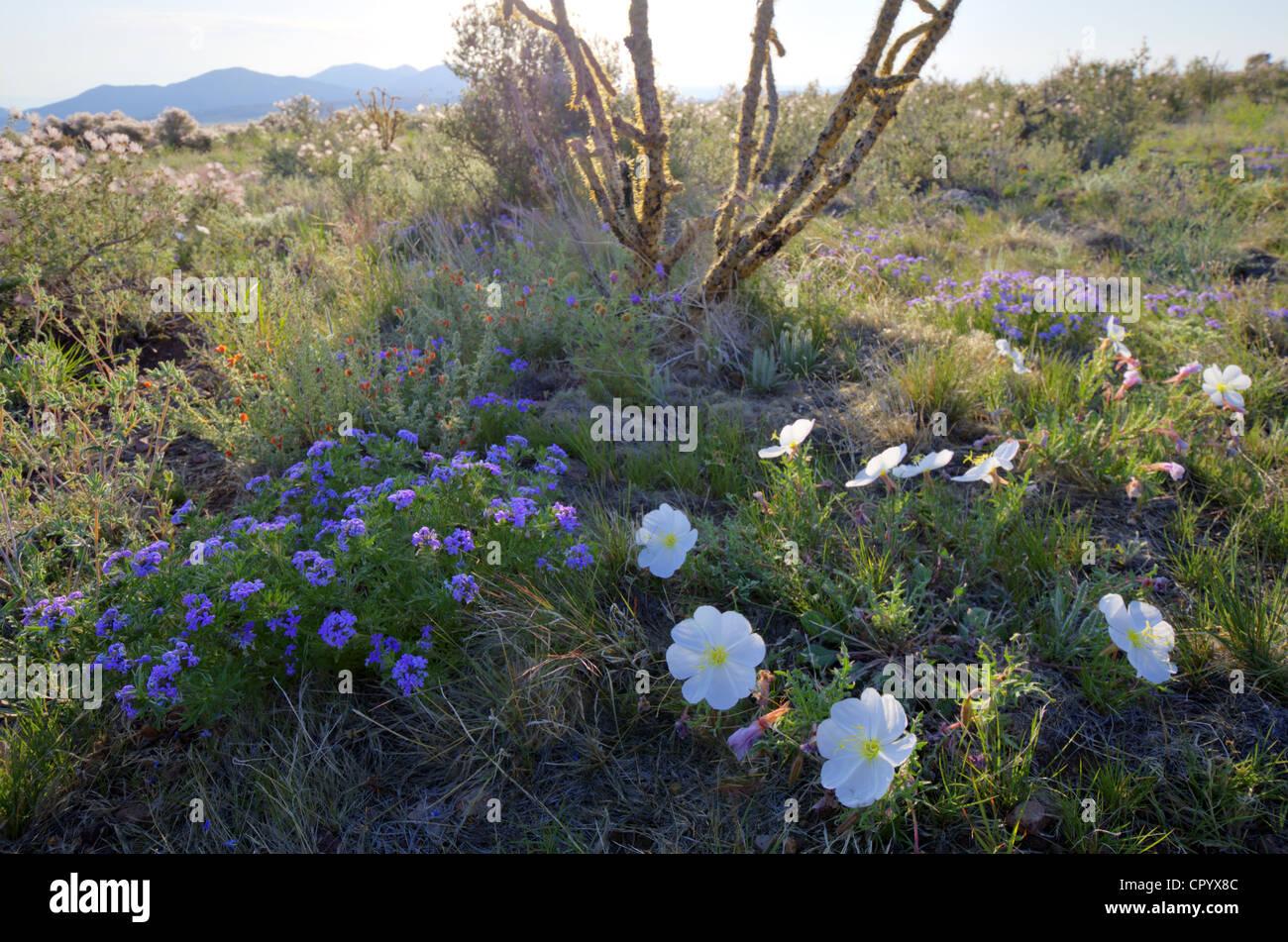New mexico socorro county magdalena - Mixed Wildflowers Verbena Evening Primrose And Globe Mallow East Of Magdalena Mountains Socorro County New Mexico Usa