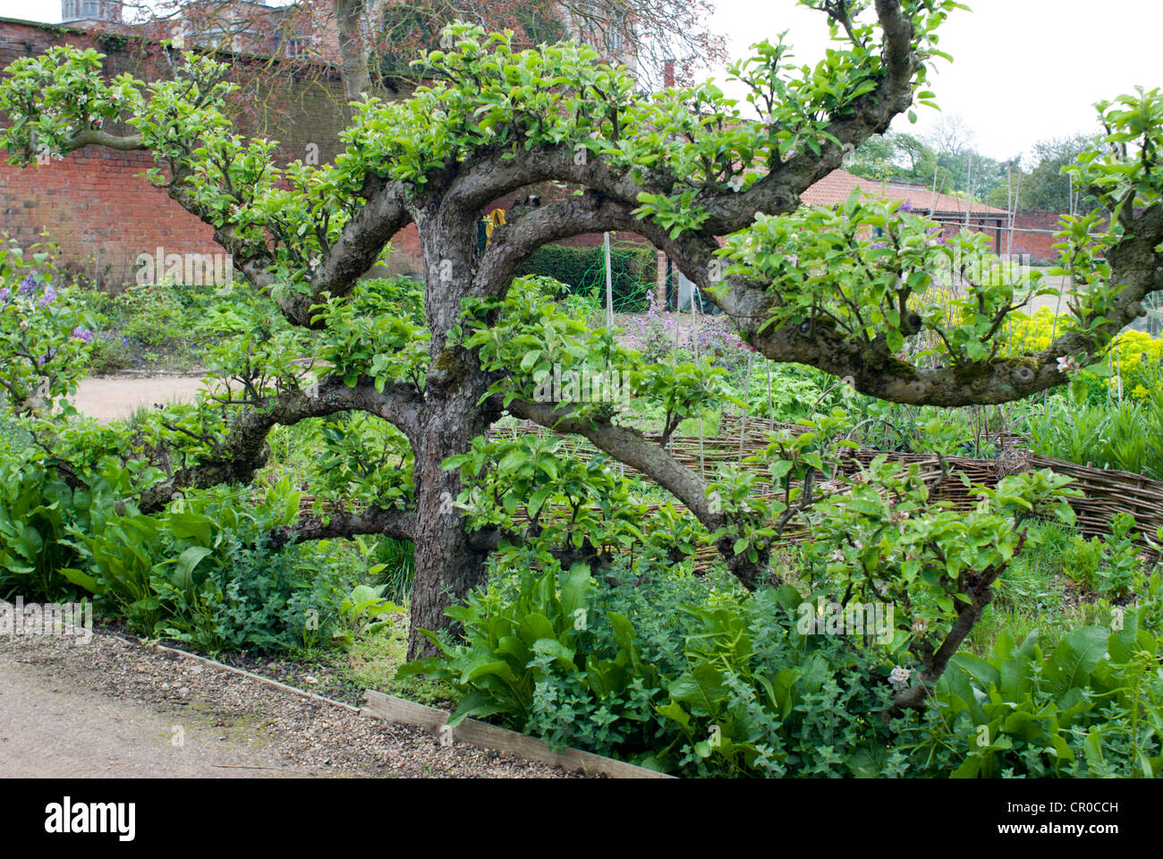 Espalier Apple Tree Growing In A Country Walled Garden   Stock Image