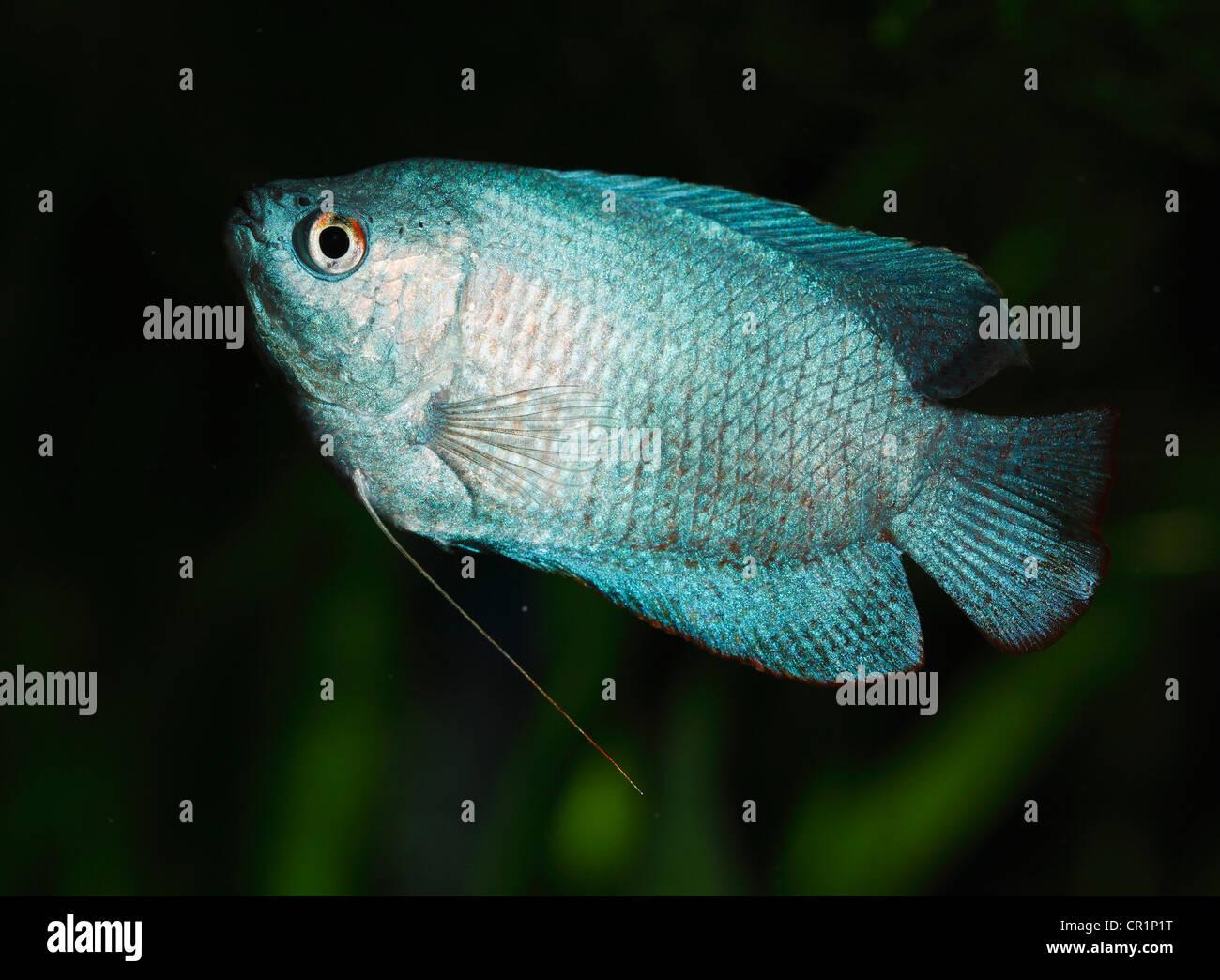 Freshwater aquarium fish neon - Dwarf Gourami Colisa Lalia Male Neon Blue Cultivated Form Freshwater Aquarium Fish Native To India