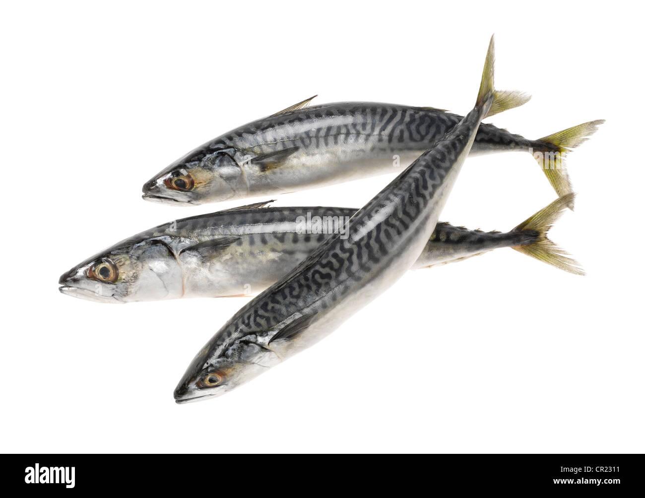 three whole mackerel fish cut out stock photo royalty free image