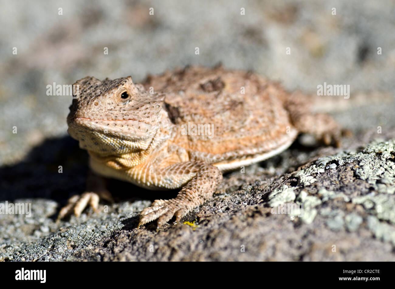 New mexico socorro county magdalena - Hernandez S Short Horned Lizard Phrynosoma Hernandezi Hernandezi Magdalena Mountains Socorro County New Mexico Usa