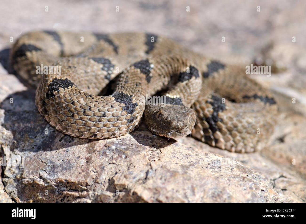 New mexico socorro county magdalena - Banded Rock Rattlesnake Crotalus Lepidus Klauberi Magdalena Mountains Socorro County New Mexico Usa