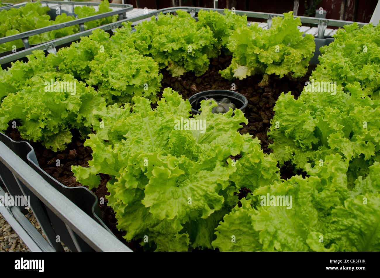 Hydroponic growing bed with lettuce a project of the for Hydroponic grow bed