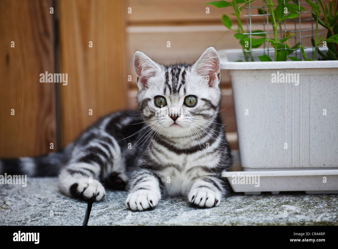 Little silver tabby British Shorthair kitten in the garden Stock