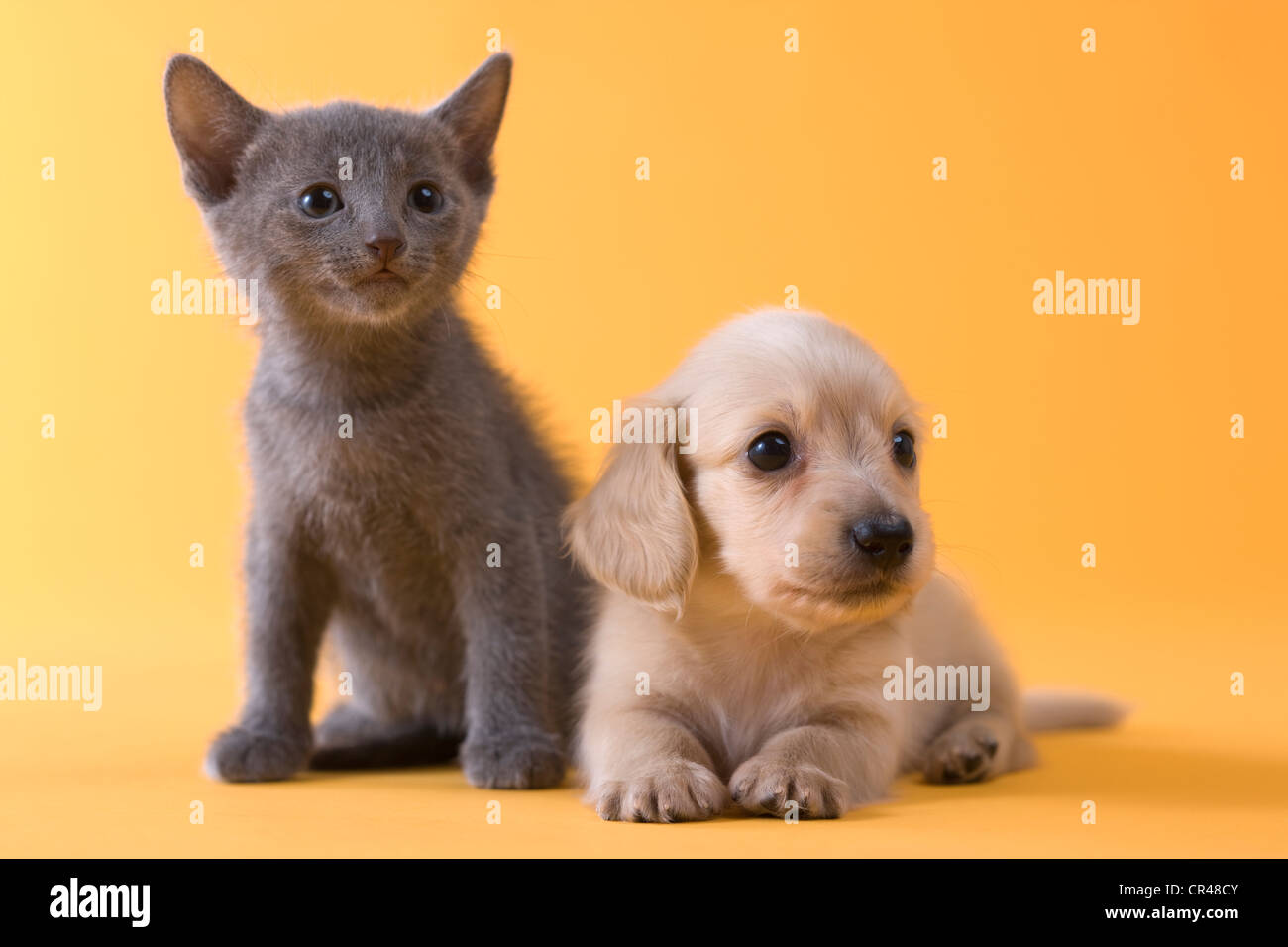 Russian Blue Kitten and Dachshund Puppy Stock Royalty Free