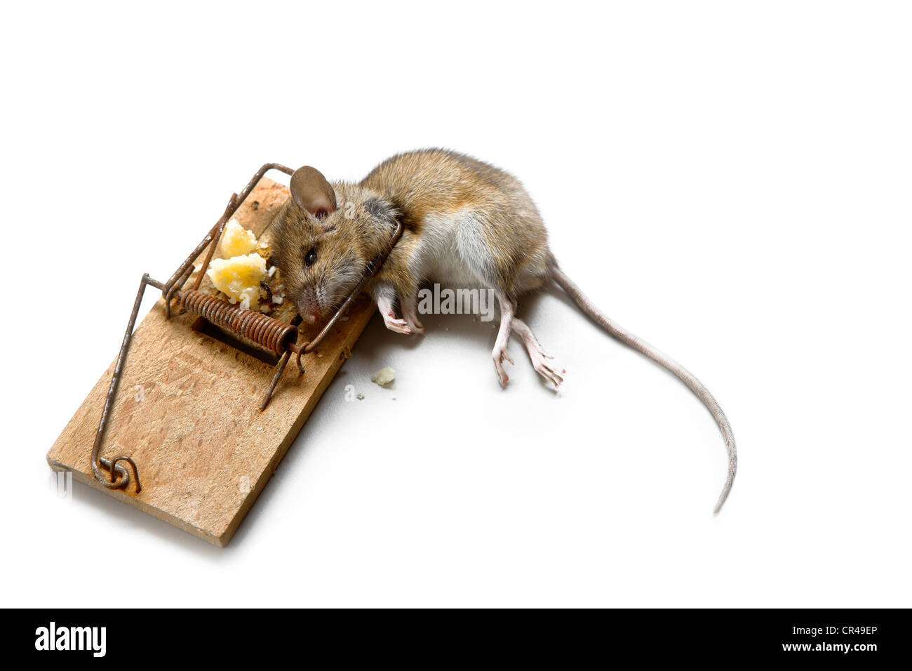 Image result for rat reaching for cheese