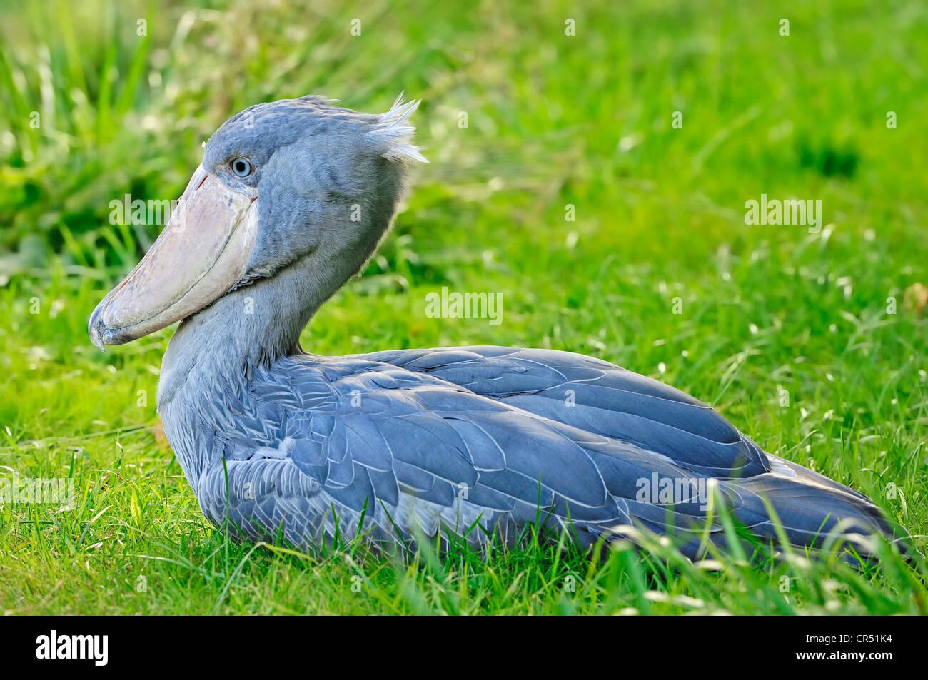 shoebill whalehead or shoebilled stork balaeniceps rex