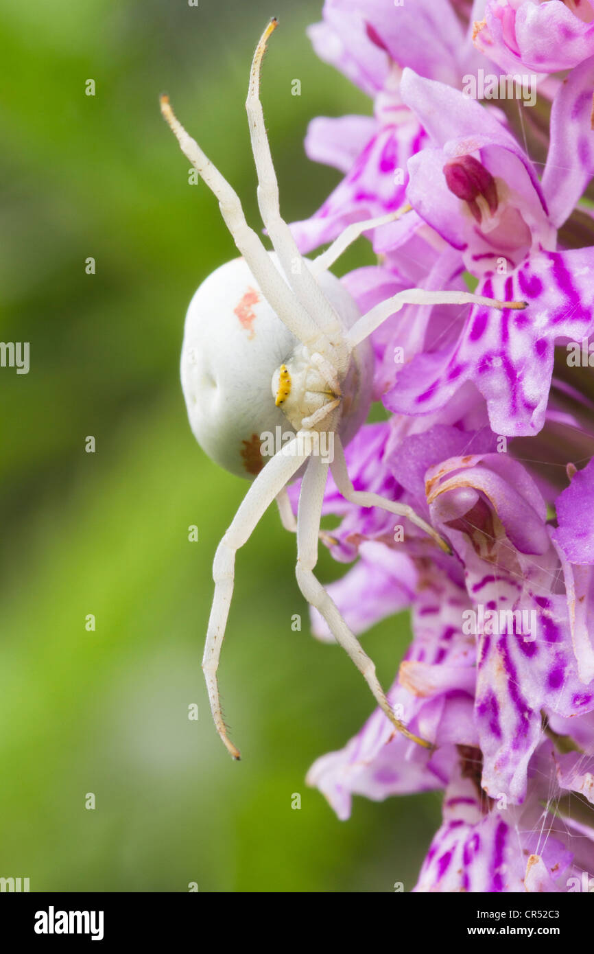Crab spider preying bumble bee garden spiders spiders flower spiders - Crab Spider On Orchid
