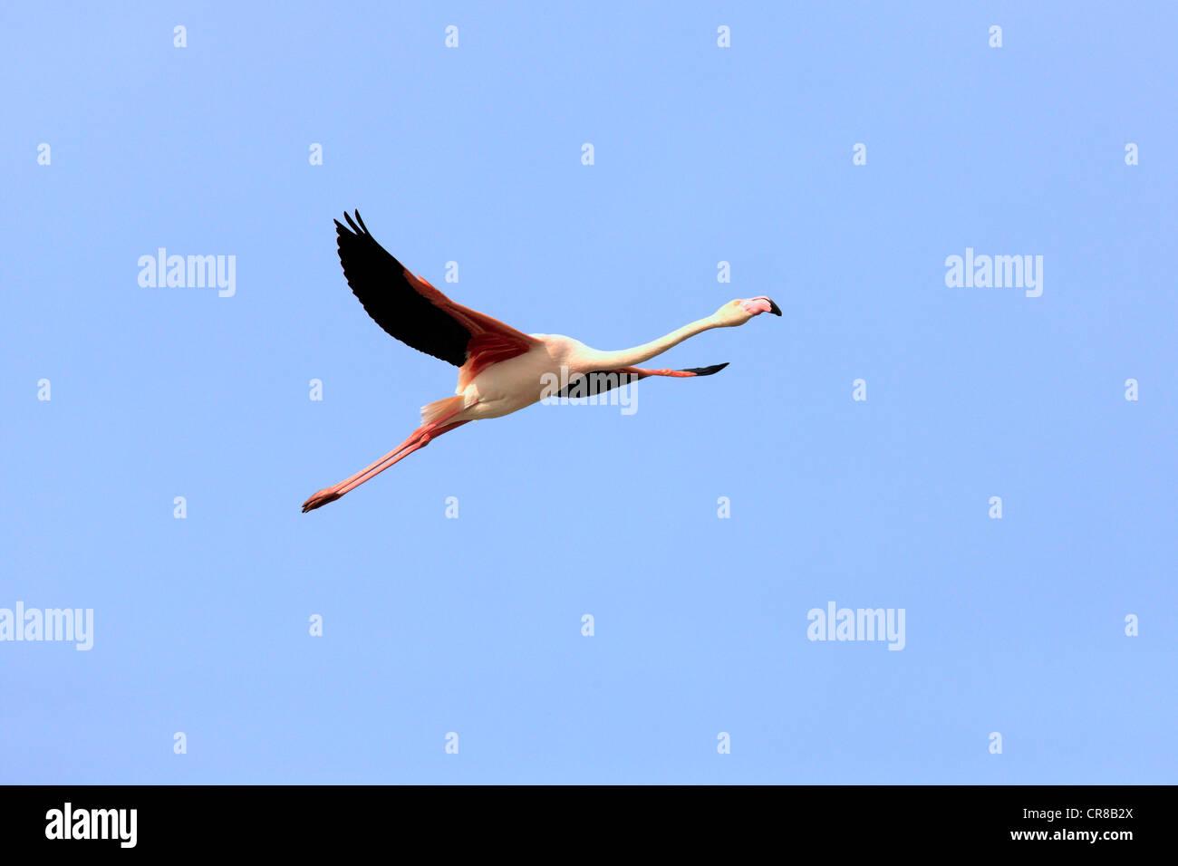 Aninimal Book: Greater Flamingo (Phoenicopterus ruber roseus), flying ...