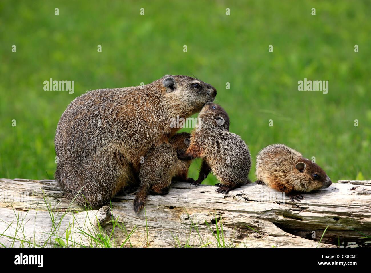 Groundhog woodchuck marmota monax mother with young for Woodchuck usa
